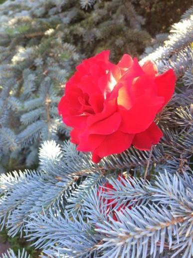 bradul si trandafirul